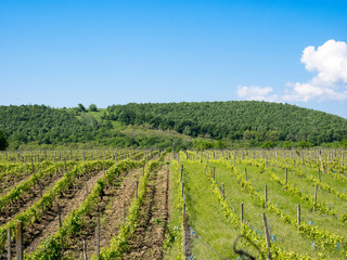 Vineyards near Focsani, Romania, in spring, freshly plowed, with a patch of forest in the background and blue sky overhead