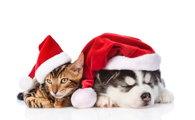 Bengal kitten and Siberian Husky puppy in christmas hats. isolated on white background