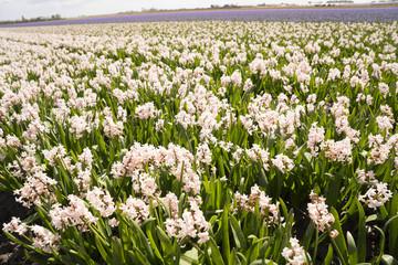 Flower Fields nearby Lisse & Amsterdam, The Netherlands