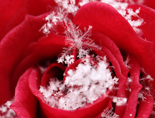 Snowflakes gather on a late blossoming rose in Vienna