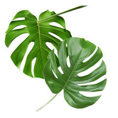 Green tropical leaves on white background