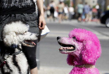 Dyed poodles wait with owners at main entrance for Berlin Fashion Week Spring/Summer 2012 in Berlin