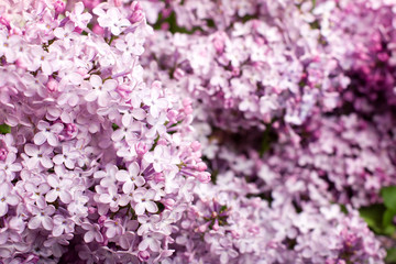 the lilac bush, spring, lots of blooming lilac