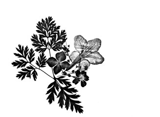 Black and white beautiful romantic pressed floral silhouette decoration isolated on white