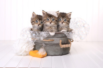 Cute Kittens in Washtub Getting Groomed By Bubble Bath