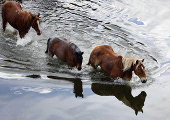 Horses walk across a river during Montana Horses' annual horse drive outside Three Forks