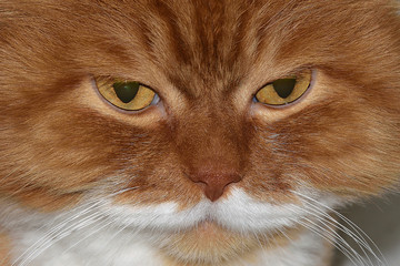 Gloomy cat's eyes close up. Angry red cat.