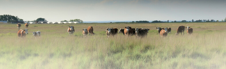 Cows grazing in a pasture on a morning