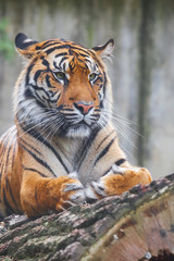 Photo sur Toile Tigre Beautiful and endangered female Sumatran Tiger