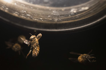 Honey bee flies near the headlamp of a truck transferring bee colonies in Columbia Falls, Maine