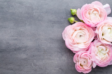 Pink beautiful ranunculus on gray background.