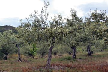 Olivos en flor, Sauceda, hurdes, España