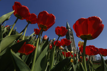 Tulips frame the Peace Tower on Parliament Hill in Ottawa