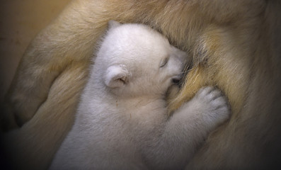 Polar bear cub snuggles up against her mother Valeska at Bremerhaven Zoo by the Sea