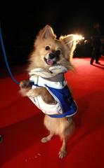 Woody, a spitz, poses on the red carpet at the Battersea Dogs and Cats Home's 150th year 'Collars and Coats Gala Ball' in London
