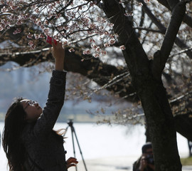 A woman uses her camera phone to photograph cherry blossom buds that are beginning to bloom around the Tidal Basin in Washington
