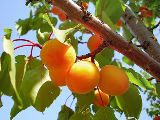 Ripe fruits apricots on a branch lit by the sun