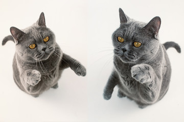 Two gray British Shorthair cats playing