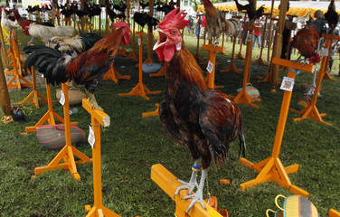 Chickens take a part in a 'laughing' contest in Makassar
