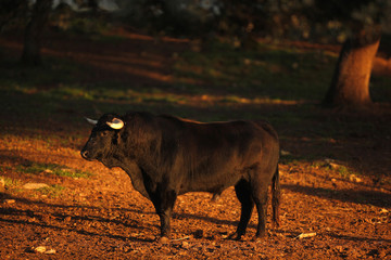 """A bull is seen at sunset in a """"dehesa"""" at Reservatauro Ronda cattle ranch in Ronda"""