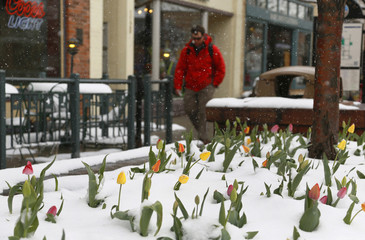 A man walks past a snow-covered bed of tulips in downtown Golden, Colorado