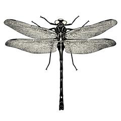 vintage Tier Design Element: detaillierte Zeichnung einer Libelle isoliert auf weißem Hintergrund - perfekt für romantische Sommer Layouts