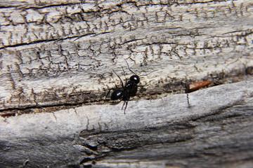 giant black ant on drift wood