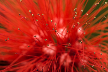 Red flower anter and filament macro