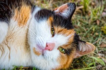 Portrait of a threechromatic cat