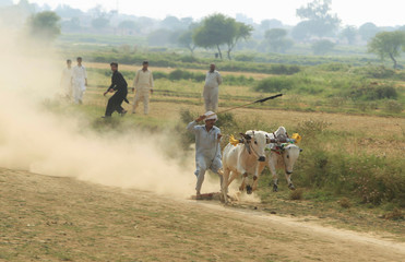 A man reacts as the bulls he is riding run on a muddy track in a field on the outskirts of Islamabad, Pakistan