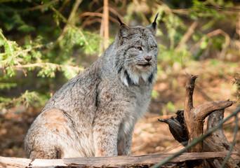 Solitary Bobcat Pacific Northwest Wild Animal Wildlife