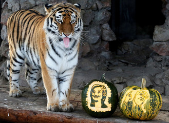Amur tiger Yunona stands near pumpkins with faces of U.S. presidential nominees Clinton and Trump as it predicts result of U.S. presidential election at Royev Ruchey zoo in Krasnoyarsk