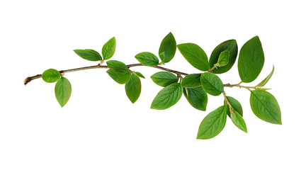 Fresh green leaves branch Wall mural
