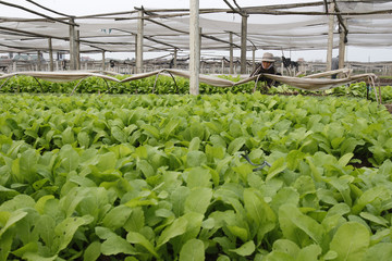 A farmer packs brassica juncea vegetables for sale on an agriculture field at Ha Hoi village, south of Hanoi