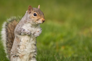 Adorable Eastern Gray Squirrel (Sciurus carolinensis) standing upright to side on a bright day with room for copy on side