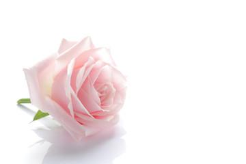 pink rose blossom on white #2