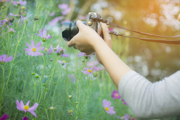 Asian woman Photography take a photo by digital camera to fields of beautiful cosmos  garden