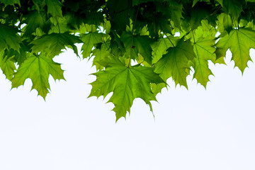 Green leaf frame isolated on white background. Maple leaves