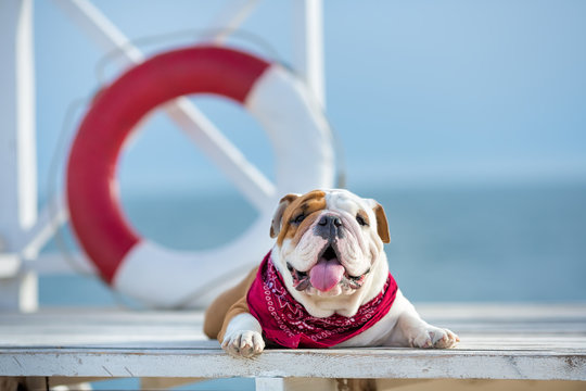 Cute puppy of english bull dog with funny face and red bandana on neck close to life saving bouy round floater