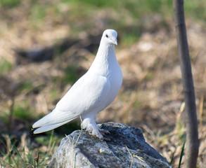 White dove in nature