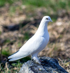 White dove in nature