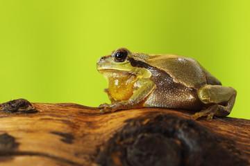 male tree frog singing on wood stump