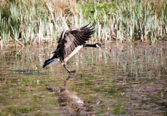 Canada Goose about to land on water he has his feet out ready for landing