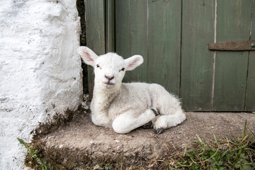Cute adorable baby lamb sat on a farmers doorstep