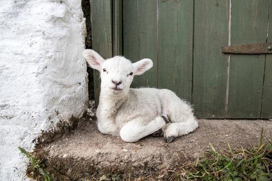 Cute adorable baby lamb sat on a farmers doorstep