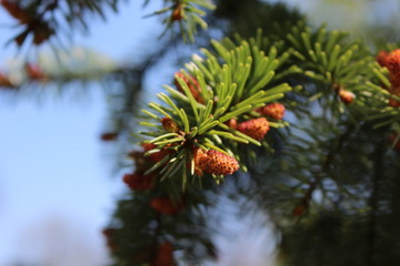 Young pine cone on a branch as the sign of a spring