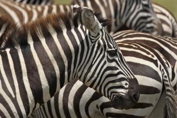 Aluminium Prints Zebra Kenya Nakuru Zebra