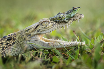 A frog sitting on the jaws of a young crocodile.