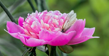 Butterfly on a peony flower