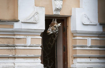 A giraffe hides from the rain in its paddock at Moscow Zoo